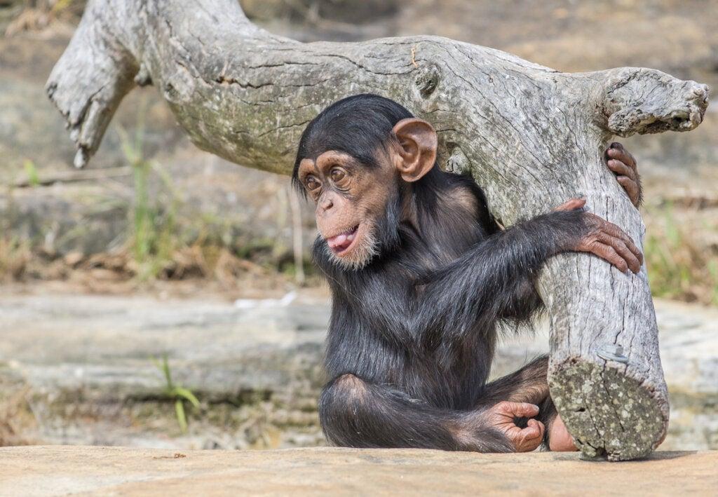 Bebé chimpancé del proyecto Washoe