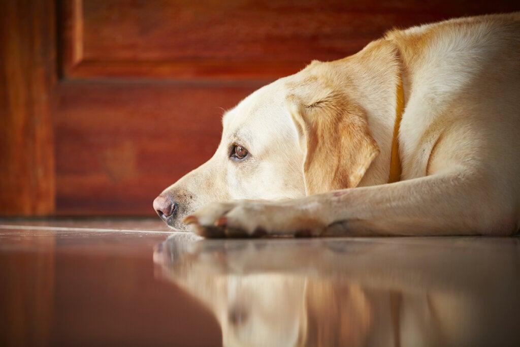 Duelo animal: ¿cómo sufre el perro la ausencia del amo?