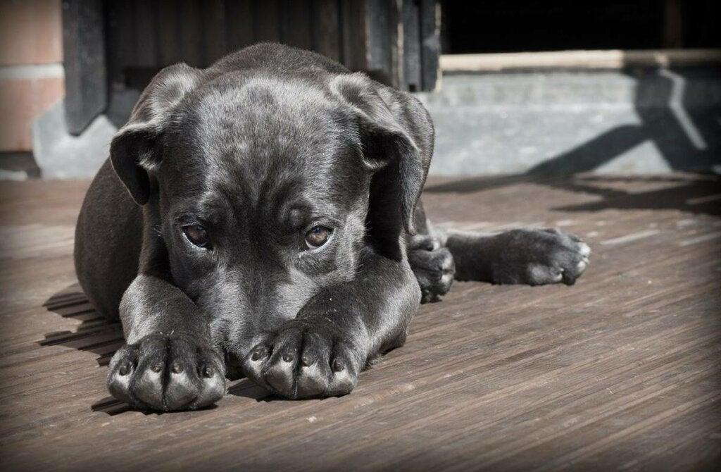 Perro representando la cuestión de si pueden los animales padecer enfermedades mentales