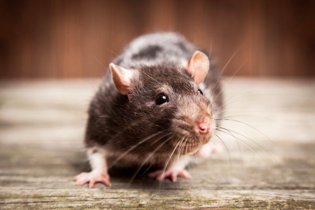 Miedo a los ratones o musofobia: síntomas y tratamientos