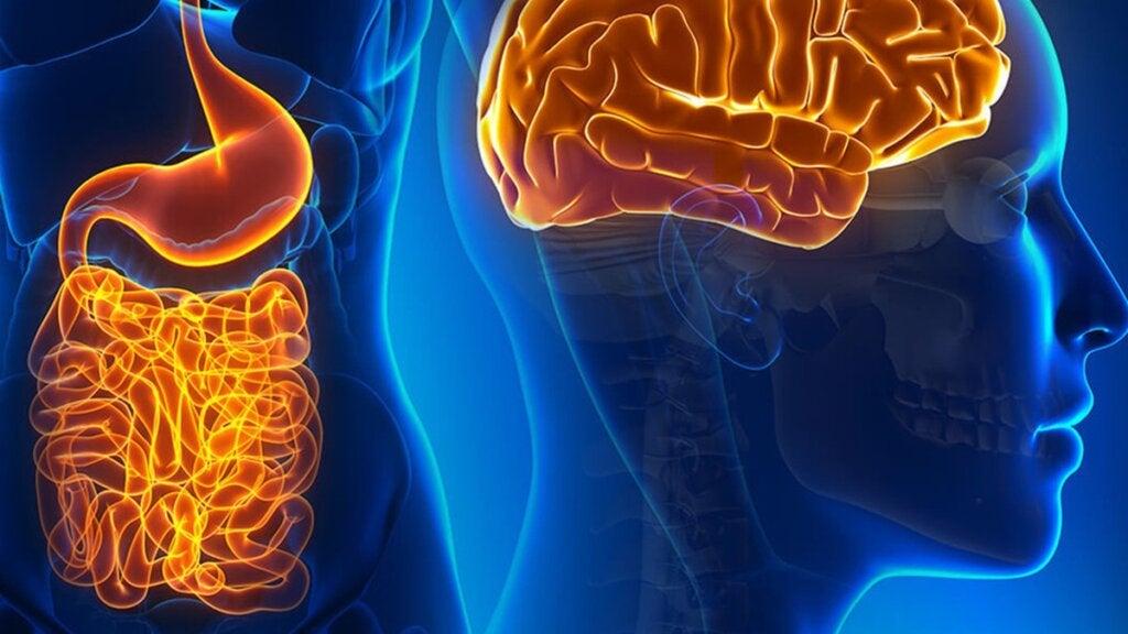 Neuronas del intestino: funciones y cómo se relacionan con el cerebro
