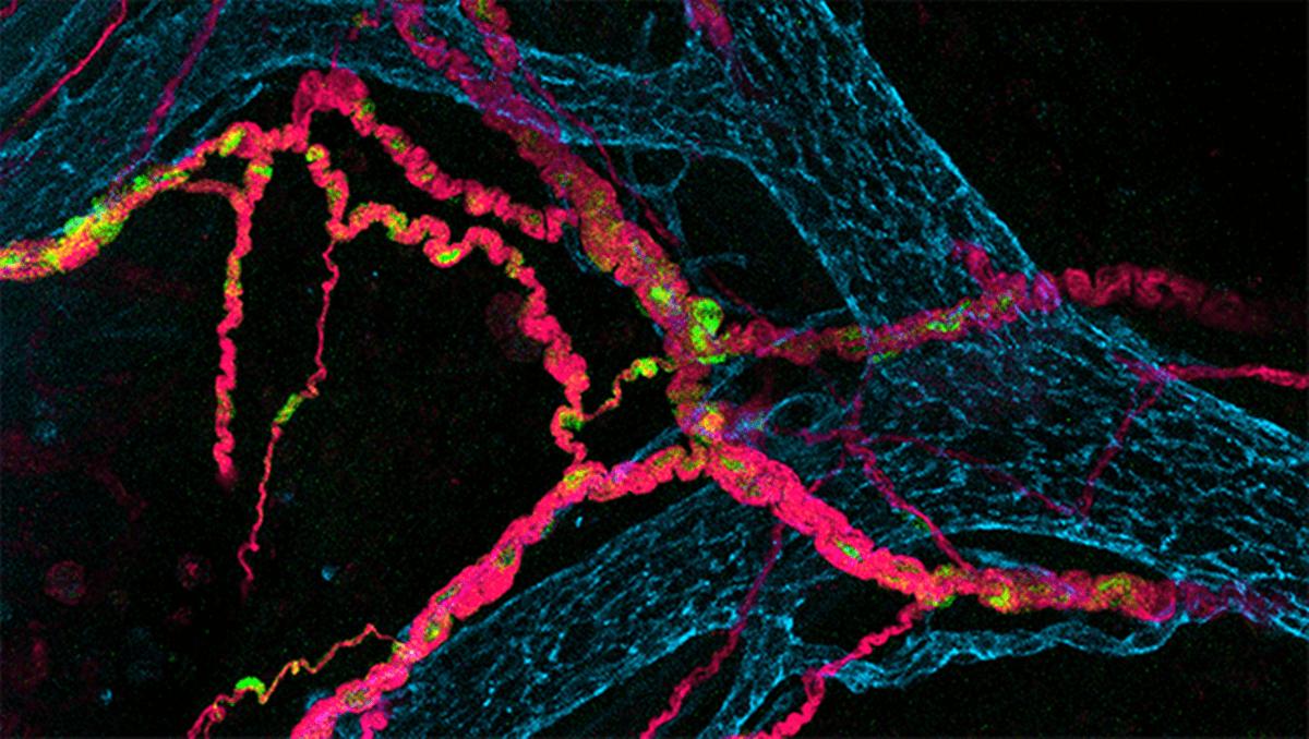 Células del intestino
