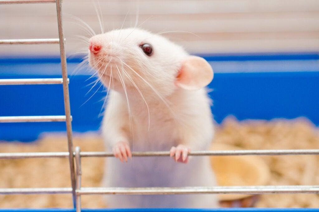 Rata en un laboratorio