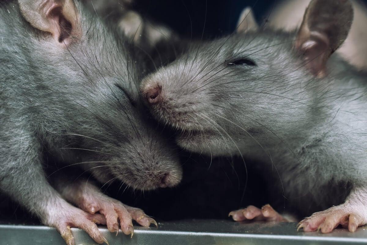 Ratas con los ojos cerrados