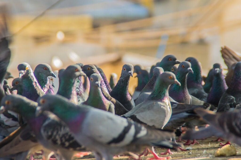 Muchas palomas