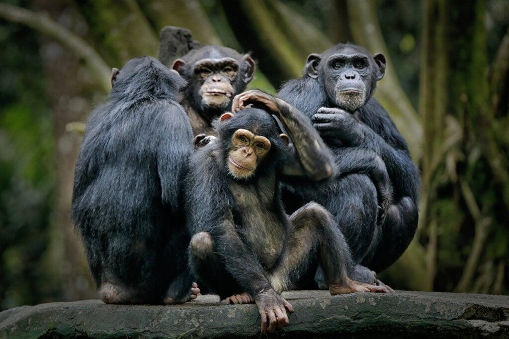 Chimpancés como animales más inteligentes