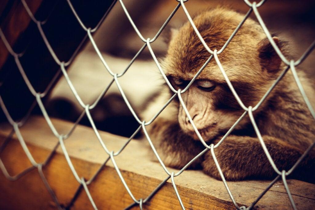 Mono con depresión encerrado en una jaula