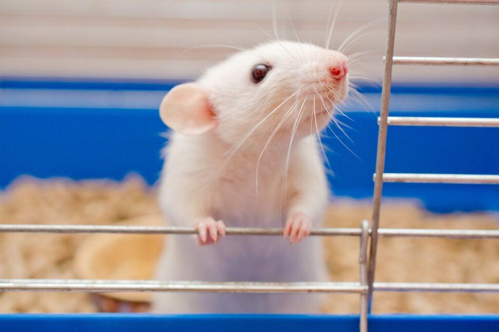 Rata en una jaula de laboratorio