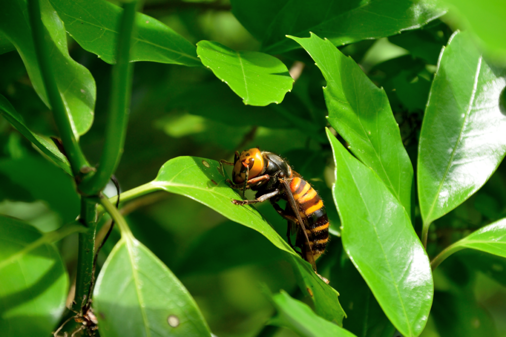Asian giant hornet, one of the most dangerous animals in the world.