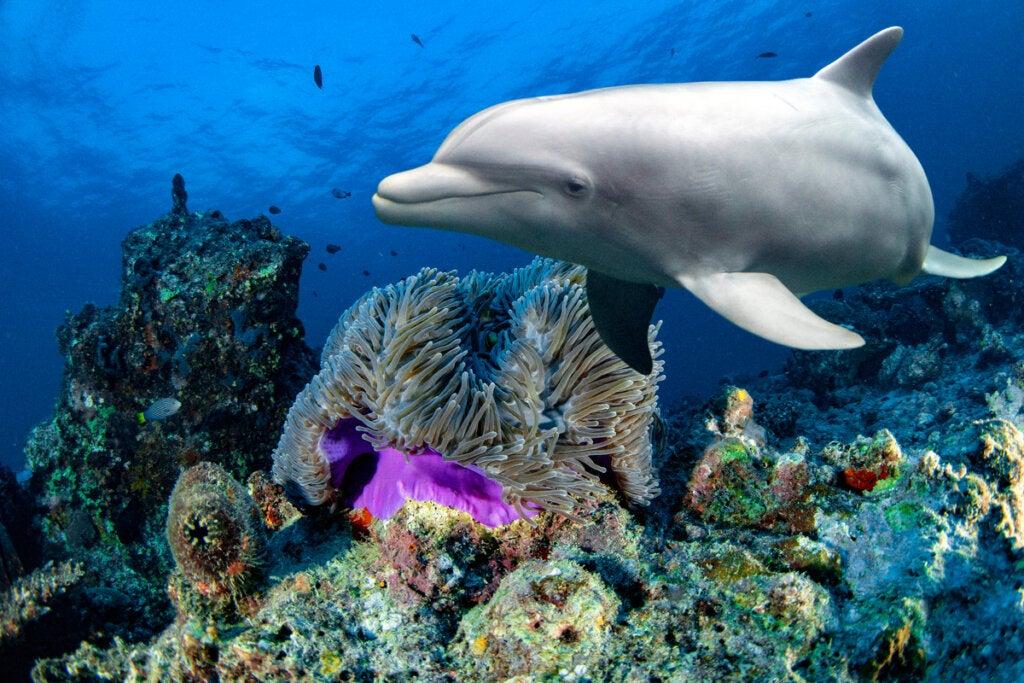 Delfino con coralli.