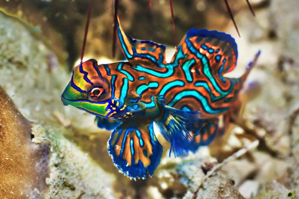 mandarin fish.