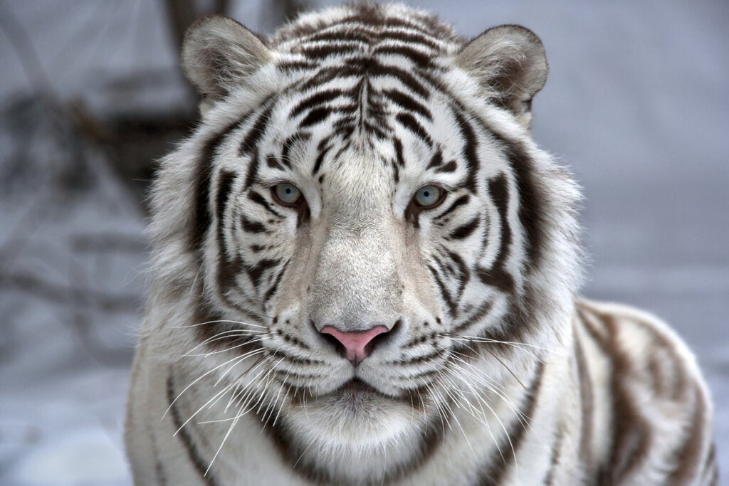 White Bengal Tiger, one of the most beautiful animals in the world.