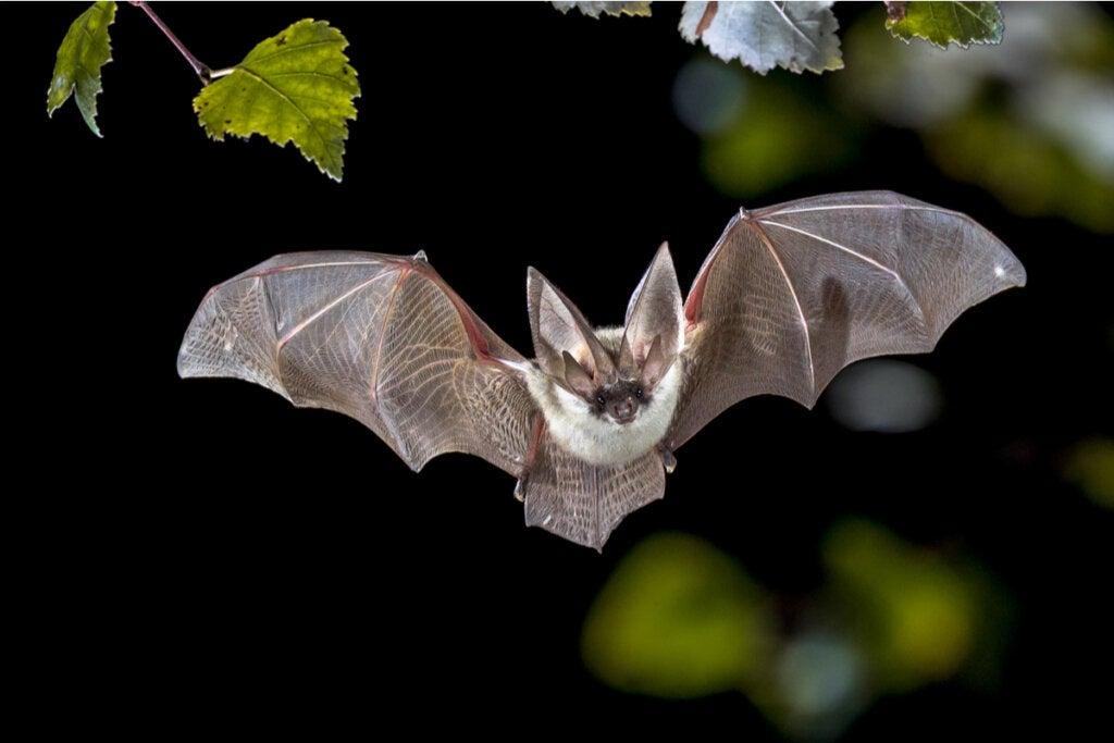 Morcego voando à noite