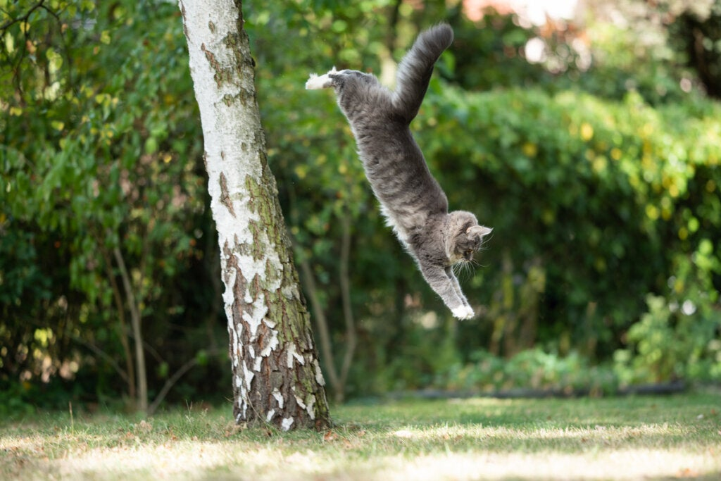 A cat landing on its feet, one of the curious facts about cats.