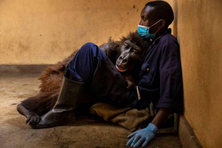 La gorila Ndakasi deja este mundo en brazos de su cuidador